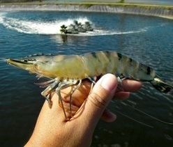 CO2 sells huge prawn farm plan - The West Australian | Aquaculture Products & Marketing Network | Scoop.it
