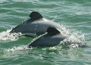 New Zealand's Endangered Dolphins Slide Toward Extinction - Environment News Service | Fisheries & Fishing Technology | Scoop.it