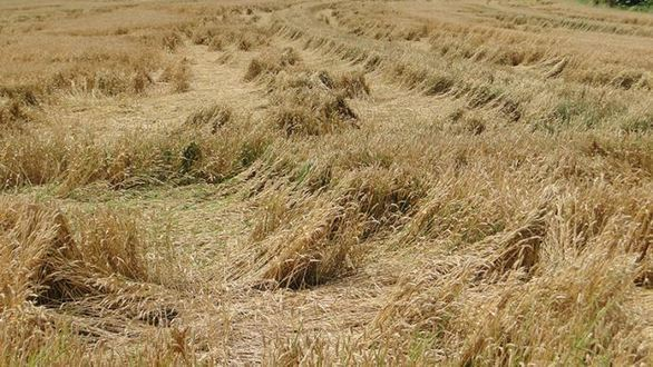 Conséquences possibles des orages sur les céréales à paille