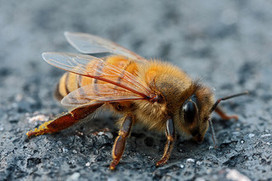 Bee health and pesticides | European Crop Protection Association | Colony Collapse Disorder | Scoop.it