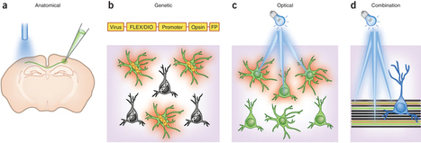 Targeting neurons and photons for optogenetics | Neuroscience_technics | Scoop.it