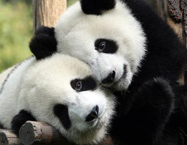 Pandas in love | Social Media Perspectives | Scoop.it