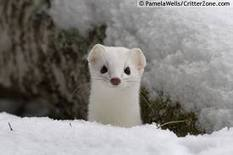 "Fears for stoat ""extinction"" by UK Government 