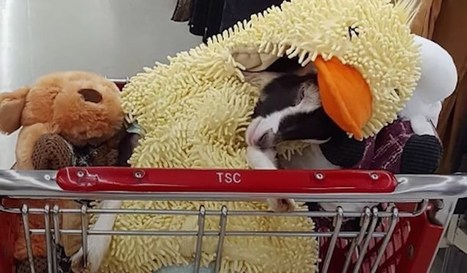 Anxious Rescue Goat Always Calms Down When Wearing Her Duck Suit - Good News Network | This Gives Me Hope | Scoop.it
