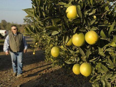 Citrus quarantine applies to homeowners, too - Visalia Times-Delta | Citrus Science | Scoop.it