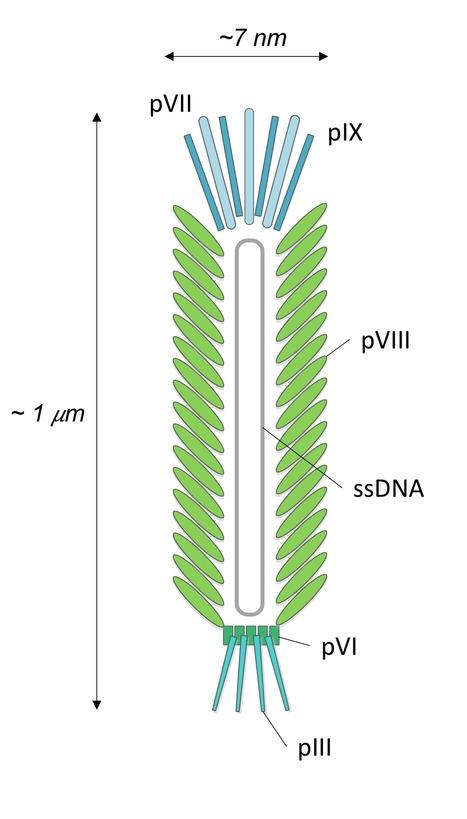 Purification Of M13 Bacteriophage With Ionic Li