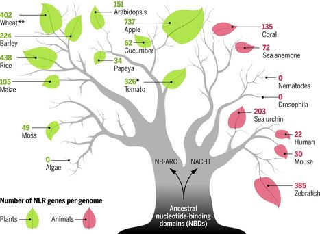 Intracellular innate immune surveillance devices in plants and animals | Plant Biology Teaching Resources (Higher Education) | Scoop.it