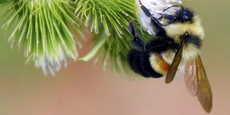 This Bumble Bee Is About to Go Extinct | Farming, Forests, Water, Fishing and Environment | Scoop.it