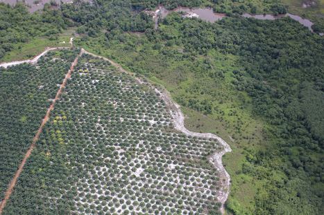 Palm oil production up, as forests pay the price | The Glory of the Garden | Scoop.it
