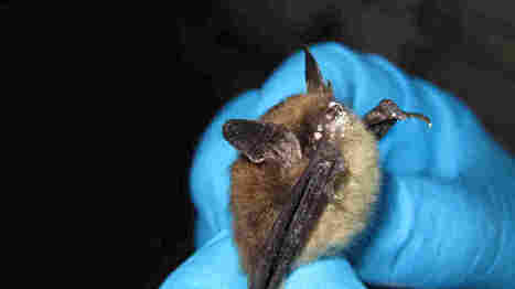 Environmentalists Say 'Threatened' Status For Bats Not Enough | Bat Biology and Ecology | Scoop.it