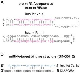MicroRNA-Target Binding Structures Mimic MicroRNA Duplex Structures in Humans | Amazing Science | Scoop.it