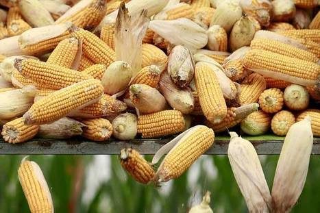 Ban or Not, GMO Corn May Already Be On China's Table | MAIZE | Scoop.it