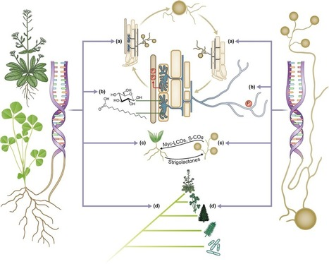 Biology and evolution of arbuscular mycorrhizal symbiosis in the light of genomics | Plant-Microbe Interaction | Scoop.it