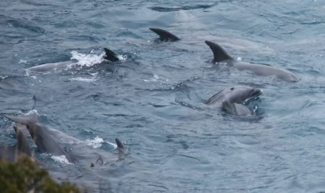 BREAKING: Massive Pod of Bottlenose Dolphins Captured in Taiji | Ric O'Barry's Dolphin Project | Oceans and Wildlife | Scoop.it