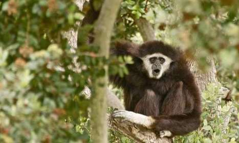 Complete genome of all strains of the gibbon ape leukemia virus sequenced | biosc&med | Scoop.it
