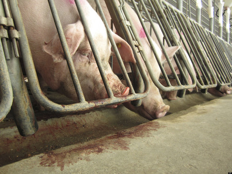 Why Every Parent Should Know About the Ag-Gag Bill and Animal Cruelty on Farms | YOUR FOOD, YOUR ENVIRONMENT, YOUR HEALTH: #Biotech #GMOs #Pesticides #Chemicals #FactoryFarms #CAFOs #BigFood | Scoop.it