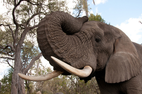 Global Community Takes Bold Steps to Fight Elephant Poaching | Wildlife Trafficking: Who Does it? Allows it? | Scoop.it
