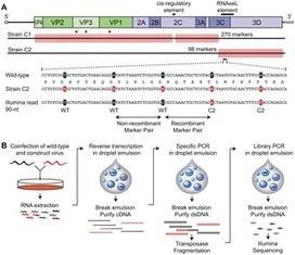 PLOS Pathogens: Identification and Manipulation of the Molecular Determinants Influencing Poliovirus Recombination | Microbe | Scoop.it