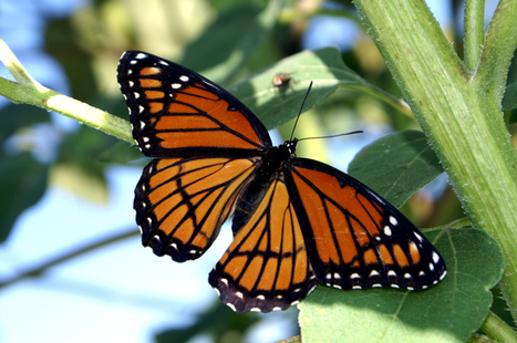 #PETITION - Center for Food Safety | Take Action | Monsanto vs. the #Monarchs | News You Can Use - NO PINKSLIME | Scoop.it
