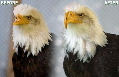 Injured bald eagle gets new 3-D printed beak | 3D and 4D PRINTING | Scoop.it
