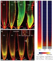 PLETHORA gradient formation mechanism separates auxin responses   Plant Gene Seeker -PGS   Scoop.it