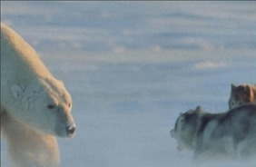 Wild Polar Bear vs Dogs | All about nature | Scoop.it