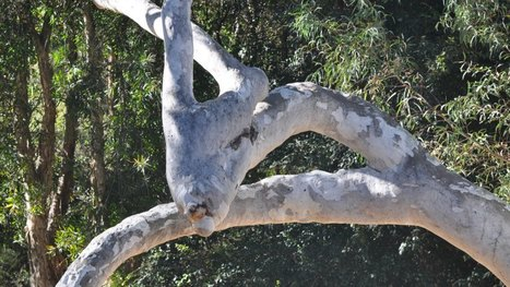 A tree of many faces | Australian Plants on the Web | Scoop.it