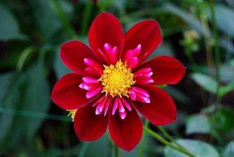 La dalia, una flor mexicana que ayuda a no subir de peso | Cocina internacional en la miscelánea | Scoop.it