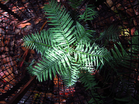 Wollemi pine research gives further hope of salvation | Australian Plants on the Web | Scoop.it