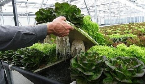 Hidroponía, una agricultura más ecológica y sostenible | Cultivos Hidropónicos | Scoop.it