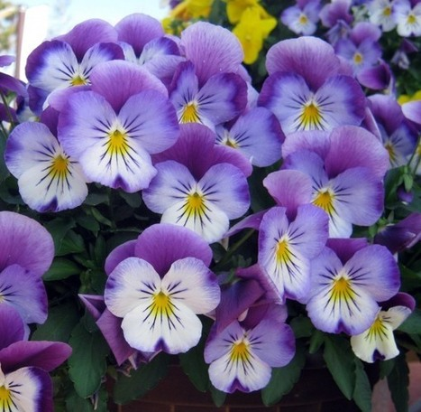 Plant These New Pansies Now! – The Daily South | Your Hub for Southern Culture | Annie Haven | Haven Brand | Scoop.it