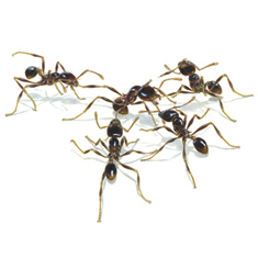 Scientific American: Battles among Ants Resemble Human Warfare | All About Ants | Scoop.it