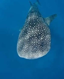 Distressed whale shark towed out to sea | Indigo Scuba | Scoop.it