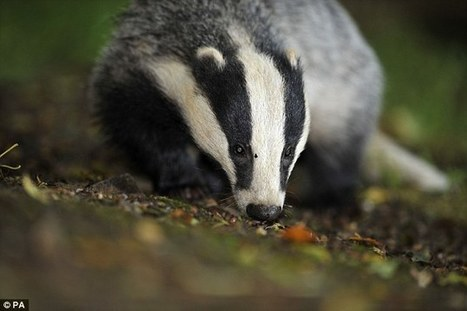 Vets' U-turn on shooting wild badgers | Bovine TB, badgers and cattle | Scoop.it