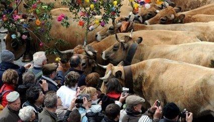 Transhumance: les belles de l'Aubrac ont joué les vedettes | L'info tourisme en Aveyron | Scoop.it