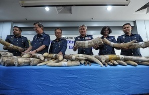 RM7.2 million of elephant tusks seized | Pachyderm Magazine | Scoop.it