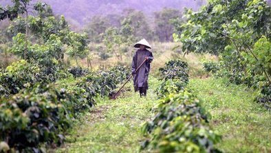 How Vietnam became a coffee giant | Geog 200 | Scoop.it