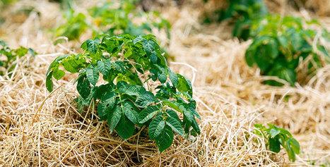 El acolchado de paja reduce en un 78% el nivel de erosión en suelos – EcoHabitar | Agroindustria Sostenible | Scoop.it