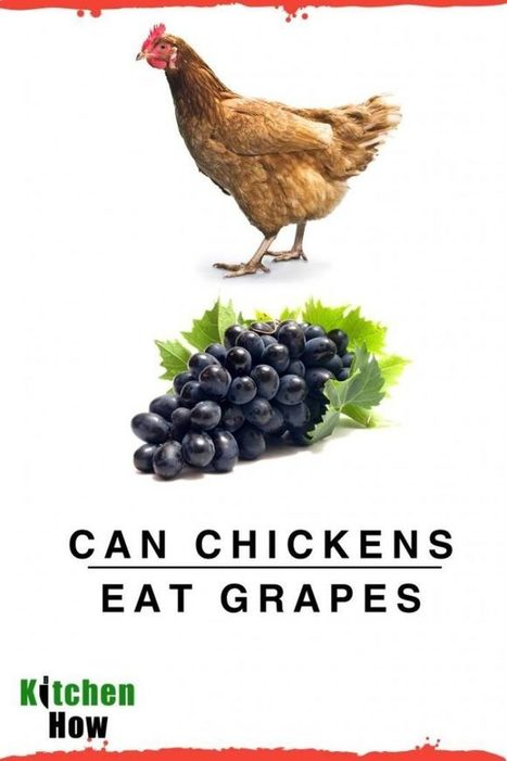 Can Chickens Eat Grapes Should Chickens Eat Gr