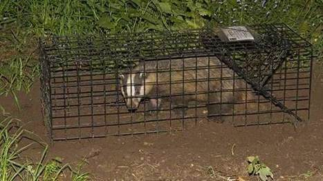 Vets call for end to controlled badger shooting in pilot culls - Farmers Weekly | Bovine TB, badgers and cattle | Scoop.it