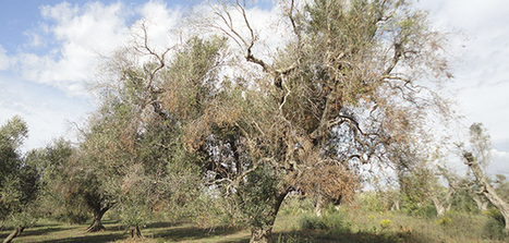 The European Commissioner for Health and Food Safety will travel to the Italian area most affected by Xylella fastidiosa | Almanac Pests | Scoop.it