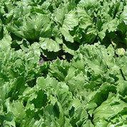 Cold Weather Damaging AZ Winter Lettuce Crop | KMXP (Radio-Phoenix) | CALS in the News | Scoop.it