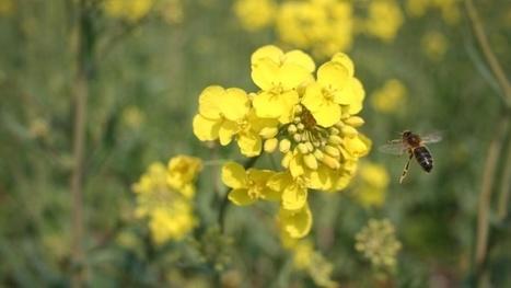 Déplafonner le rendement du colza en nourrissant les abeilles | Abeilles, intoxications et informations | Scoop.it