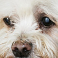 Living with a blind dog | Animal Health | Scoop.it