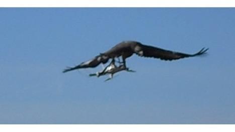 L'armée acquiert des aigles pour chasser les drones | Drone | Scoop.it