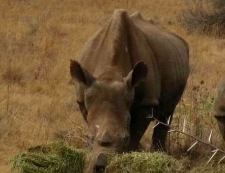 Iconic Rietvlei rhino dies | What's Happening to Africa's Rhino? | Scoop.it