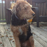 Airedale Terrier who is a Cancer survivor.