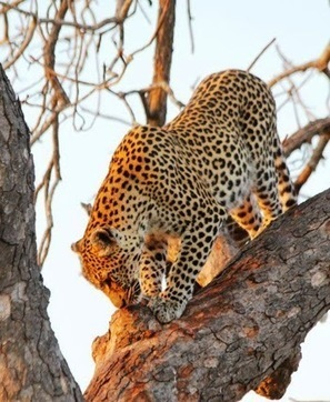 Kruger Park Sightings: Cats all around. | Kruger & African Wildlife | Scoop.it