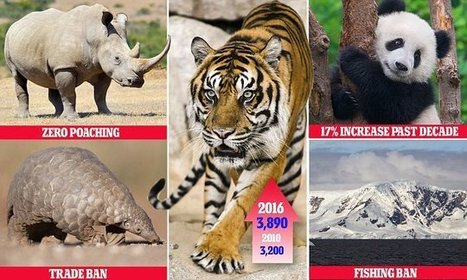 Pandas are taken off the endangered list and wild tigers on the rise | Chronique d'un pays où il ne se passe rien... ou presque ! | Scoop.it
