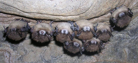 Fungus-infecting virus could help track spread of white-nose syndrome in bats | Amazing Science | Scoop.it
